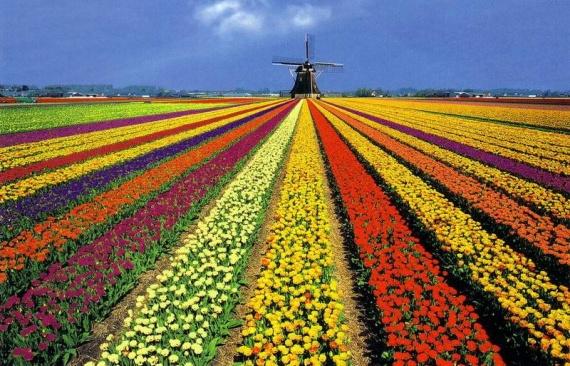 Цветочные поля,Голландия